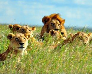 lions-HP