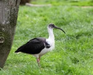 ibis-perth
