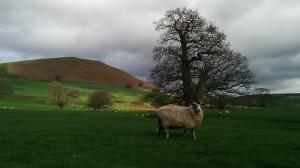 York-mouton