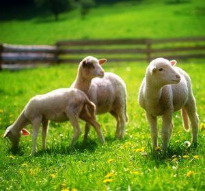 Le petit agneau pascal et ses recettes