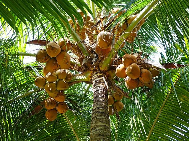 coconuts-892580_640