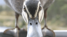 Depasser-le-syndrome-du-vilain-petit-canard