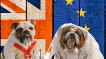 deux bulldog anglais déguisés en mariés devant les drapeaux anglais et européens